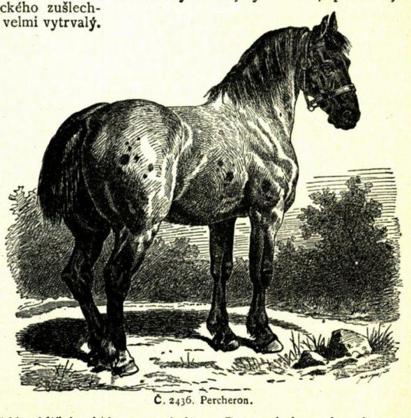 Kůň Percheron